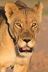 Lioness (Panthera leo)  close-up in the Kalahari, Kgalagadi Transfrontier Park, Northern Cape, South Africa, February 2016