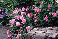 English shrub rose 'Mary Rose' growing over stone wall in California garden