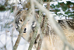 Grey wolf in Boreal Forest, Canada