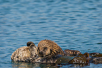 Southern Sea Otter (Enhydra lutris nereis) mother trying to rest with young, playful pup.  Central California Coast.  Mother is wrapped in kelp to help keep her from drifting off with the tide/wind/current whiles she rests.