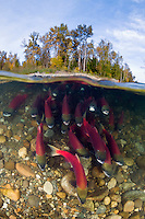 RY6324-D. Sockeye Salmon (Oncorhynchus nerka) undergo an epic migration from the open sea to their spawning grounds hundreds of miles upriver. Adams, River, British Columbia, Canada.<br /> Photo Copyright &copy; Brandon Cole. All rights reserved worldwide.  www.brandoncole.com