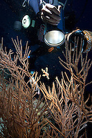 November 25th, 2008_MALDIVES_ A diver uses her torch to examen a Harlequin ghost pipefish at a dive site known as Nelivaru Haa.  Nelivaru Haa is located near the Maldives Soneva Fushi resort island and the Baa Atoll.  The Maldives consists of twenty-six atolls,192 islets, of which two hundred and fifty islands are inhabited, making it one of the top diving destinations in the world Photographer: Daniel J. Groshong/Tayo Photo Group