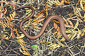 Slow-worm (Anguis fragilis) on top of compost, UK  Slow worm do have a pair of eye so a little mis leading to refer to them as blind worms. One of the biggest causes of mortality in slow worms in suburban areas is the domestic cat, against which it has no defence. UK