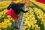 A little rain and mud can't deter this New York tourist from getting out in the tulip field for a closeup at the Skagit Valley tulip festival.