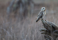 A Short-eared owl pauses during a late afternoon hunt.