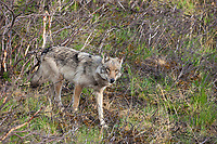 Gray wolf on the tundra in Denali National Park, Alaska.