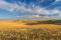 Whitman County, WA<br /> Morning light on the farms and rolling fields of ripe wheat in the Palouse in eastern Washington,  Steptoe Butte on the horizon