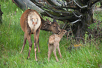 Cow elk with newborn calf
