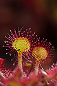 Round-leaved sundew (Drosera rotundifolia) showing sticky droplets on the end of glandular hairs that trap insects. Nordtirol, Austrian Alps. June.