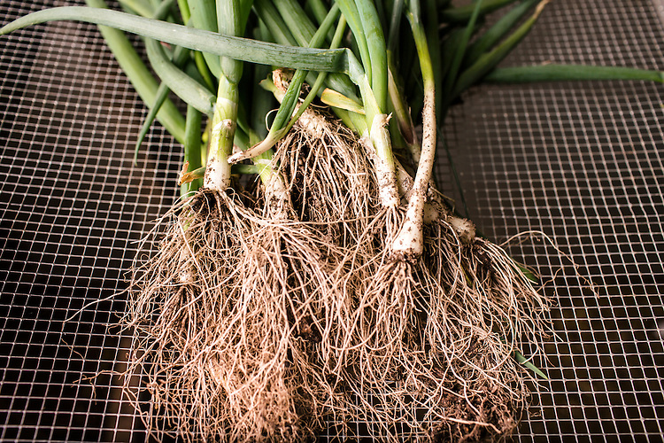 Durham, North Carolina - Wednesday March 30, 2016 - Green onions harvested at the HUB Farm  in Durham.