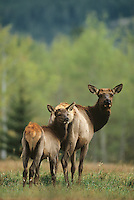 Elk, Wapiti (Cervus elaphus), Cow with calf, Yellowstone National Park, Wyoming, USA