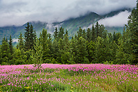 Fireweed blooms in the Kenai Mountains of the Kenai Peninsula, southcentral, Alaska.