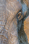 African elephant head and skin detail (Loxodonta africana), Kruger national park, South Africa, October 2014
