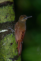 A Barred Woodcreeper, Dendrocolaptes certhis, pauses while looking for insects in tree bark; Corcovado. Costa Rica
