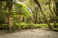 Native podocarp forest with tree fern at Smoothwater River near Jackson Bay, South Westland, West Coast, World Heritage Area, South Island, New Zealand
