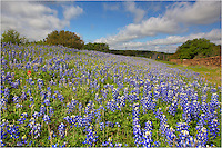 Along a rural road in the Texas Hill Country, the state flower of Texas blooms in earlly April. This Texas bluebonnet was taken in the early morning as overcast skies started to break up. The year 2013 was not a great year for Texas Wildflowers, but there were patches of blue here and there. Even an indian paintbrush was to be found in this little plot of bluebonnets