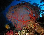 Orchid Island, Taiwan -- Gorgonian sea fan inside the Ba Dai ship wreck.
