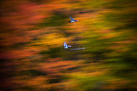 Wood duck abstraction in Autumn by nature photographer James Michael Kruger.