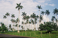 Field of Cuban Royal Palms