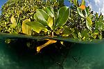 Split level of mangroves