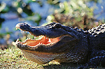 A close-up of an open-mouthed alligator in Everglades National Park, Florida.