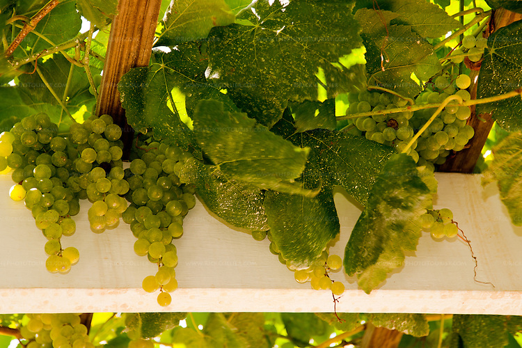 The employees at Veritas Vineyards explained to us that the grapes growing on the latticework over part of the covered deck are ordinary green grapes for eating, not wine grapes.