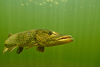 Northern Pike, Underwater