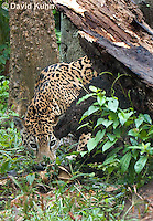 0522-1118  Goldman's Jaguar, Belize, Panthera onca goldmani  © David Kuhn/Dwight Kuhn Photography