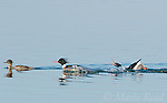 "Red-breasted Mergansers (Mergus serrator), two males and female, rightmost male performing courtship display (""Salute-Curtsy""), Aurora, New York, USA"