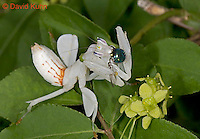 "0610-07nn  Malaysian Orchid Mantis Consuming Prey - Hymenopus coronatus ""Nymph"" - © David Kuhn/Dwight Kuhn Photography"