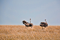 Two female ostriches running to escape across open grassland in the Masai Mara Reserve, Kenya, Africa (photo by Wildlife Photographer Matt Considine)
