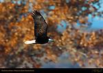 Bald Eagle in Flight, Bosque del Apache Wildlife Refuge, New Mexico