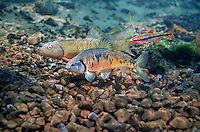 Striped Shiner (with Duskystripe Shiner and Hornyhead Chub)<br />