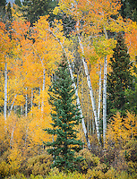 Grand Teton National Park, WY: Aspen grove and pine trees in fall