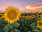 Sunflowers in Memphis 2014