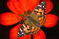 378000020 a captive painted lady butterfly vanessa cardui perches on a large red flower at a butterfly pavillion in santa barbara california