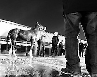 HALLANDALE, FL - JANUARY 27: Art Sherman stands in foreground as California Chrome gets a bath after morning workouts, at Gulfstream Park Race Course on January 27, 2017 in Hallandale Beach, Florida. (Photo by Douglas DeFelice/Eclipse Sportswire/Getty Images)