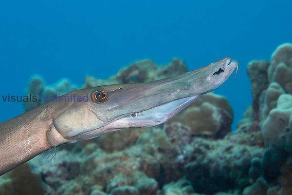 Trumpetfish (Aulostomus chinensis) swallowing a small Filefish, Maui, Hawaii, USA.