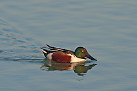 578380001 a wild male northern shoveler duck anas clypeata swims in a pond at edinburg world birding center edinburg texas united states