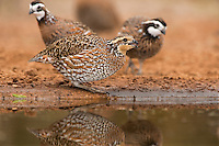 509250071 a female northern bobwhite colinas virginianus drinks at a pond on beto gutierrez ranch in hidalgo county rio grande valley texas united states