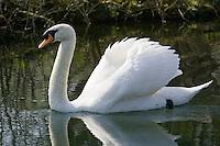 Male mute swan, Donnington, Gloucestershire, United Kingdom