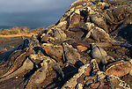Marine iguanas bask in the sun, Galapagos Islands, Ecuador
