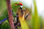 """Red crowned Parakeet or kakariki, eating flax, on Tiritiri Matangi island, New Zealand. It's listed as """"vulnerable"""" by the World Conservation Union. They can live everywhere from tropical to subantarctic climates."""