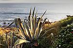 Agave Plant 1, Corona del Amr, CA.