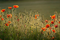 Poppys in a field in the English countryside, UK