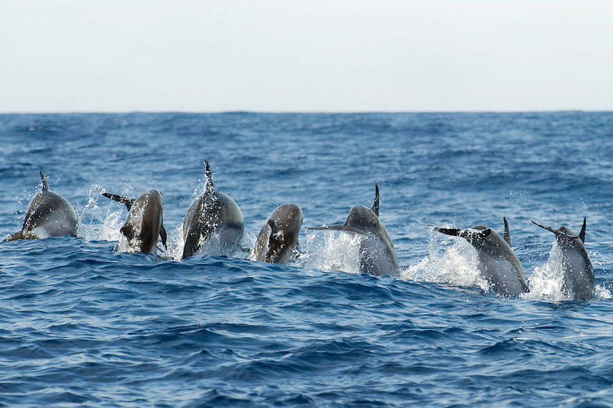 Atlantic spotted dolphin, Stenella frontalis, Pico, Azores, Portugal