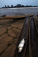 A Goliath Tigerfish lies in a pirogue after being caught in the rapids of Wagenia Falls.