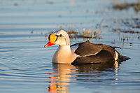 Beautifully colored male king eider duck swims in a tundra pond on Alaska's arctic north slope.