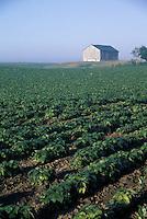 Soybean Crop and Barn in Southwestern Ontario Field