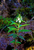 Rare Hawaiian mint (phyllostegia velutina) in Hakalau forest at the natural wildlife reserve